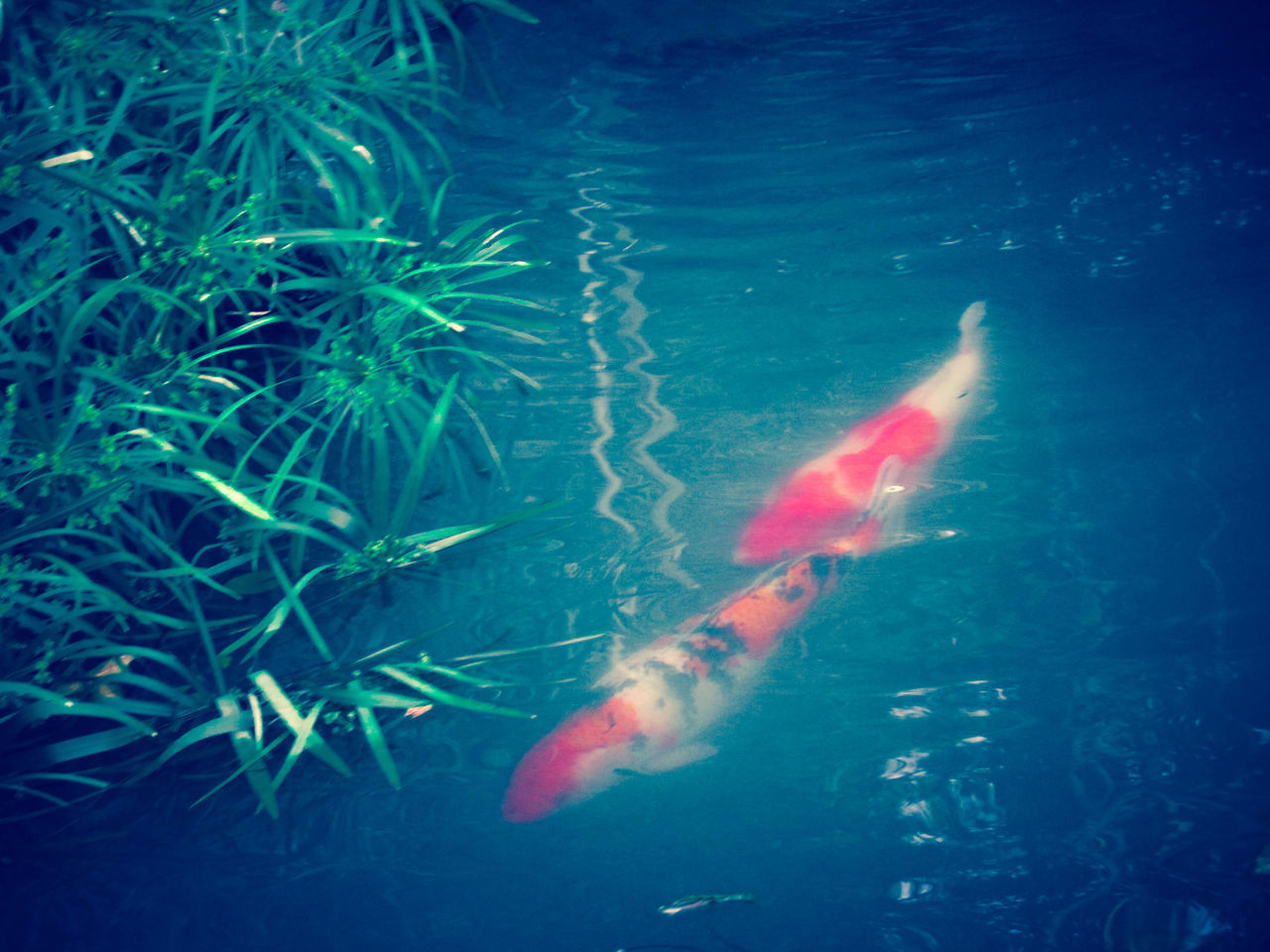 Animal Themes Animals In The Wild Appealing Beautiful Blue Charm Close-up Comfortable Day Emotion Fish Grass Koi Carp Leaf Nature No People Outdoors Play Red Scenery Sea Life Selective Focus Swimming Travel Water