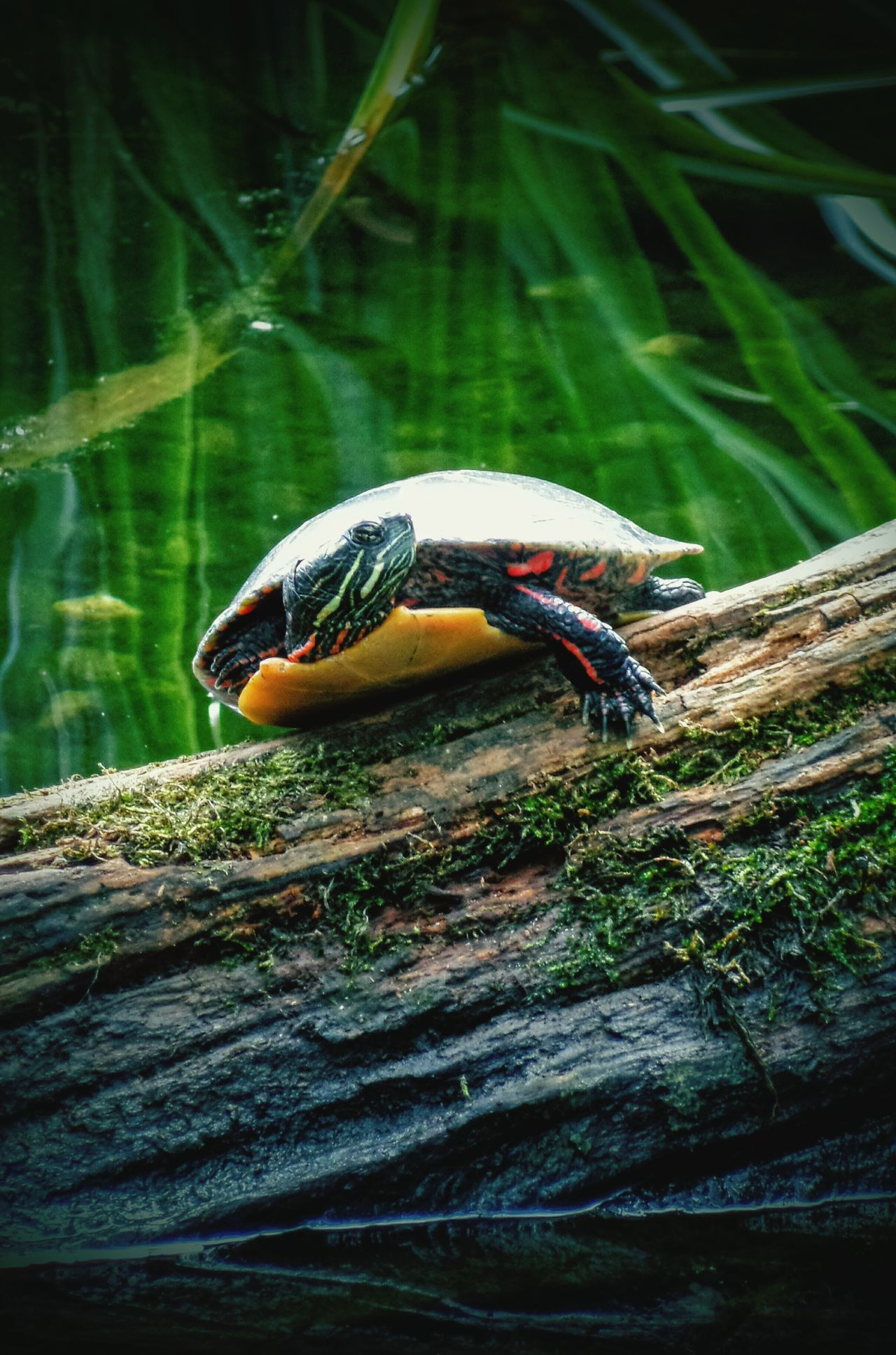 Striking A Pose Turtle Turtle 🐢 Turtles(: Turtles In The Sun Reptile Reptiles Reptile Photography Reptiles & Amphibians Pond Pond Life EyeEm EyeEm Gallery EyeEm Best Shots EyeEm Nature Lover EyeEm Best Shots - Nature EyeEm Best Edits EyeEmBestPics Eyeemphotography EyeEm Masterclass EyeEmbestshots Eyeem Market EyeEm The Best Shots Eyeem Photography Eyeem Turtles EyeEm Animal Lover