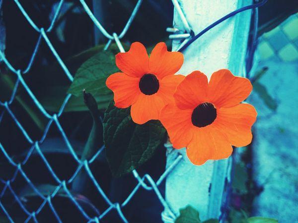 Beautiful like a flower Flowers Flowerporn Flower Collection Flower Picoftheday Garden Photography Garden Orange Color Orange Flower Eyem