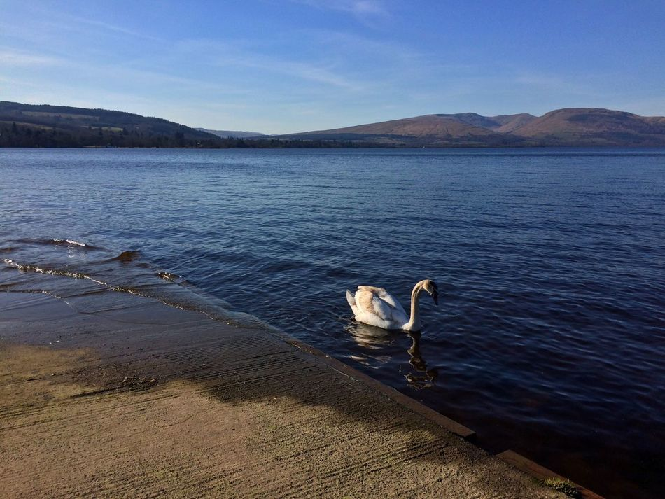 Water Sky Nature Scenics Mountain Lake Beauty In Nature Bird One Animal Tranquility Swan Animal Themes Animals In The Wild No People Outdoors Swimming Day Loch  LochLomond Sun Scotland