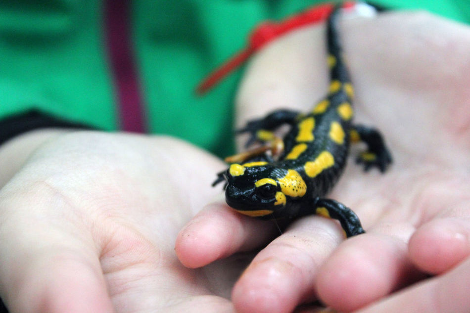 Feuersalamander Adventure Animal Themes Animal Wildlife Animals In The Wild Black Childhood Close-up Feuersalamander Firesalamander Focus On Foreground Green Color Harzmountains Human Body Part Human Finger Human Hand Nature One Animal One Person Outdoors Rare Real People Salamander Tiny Unrecognizable Person Yellow