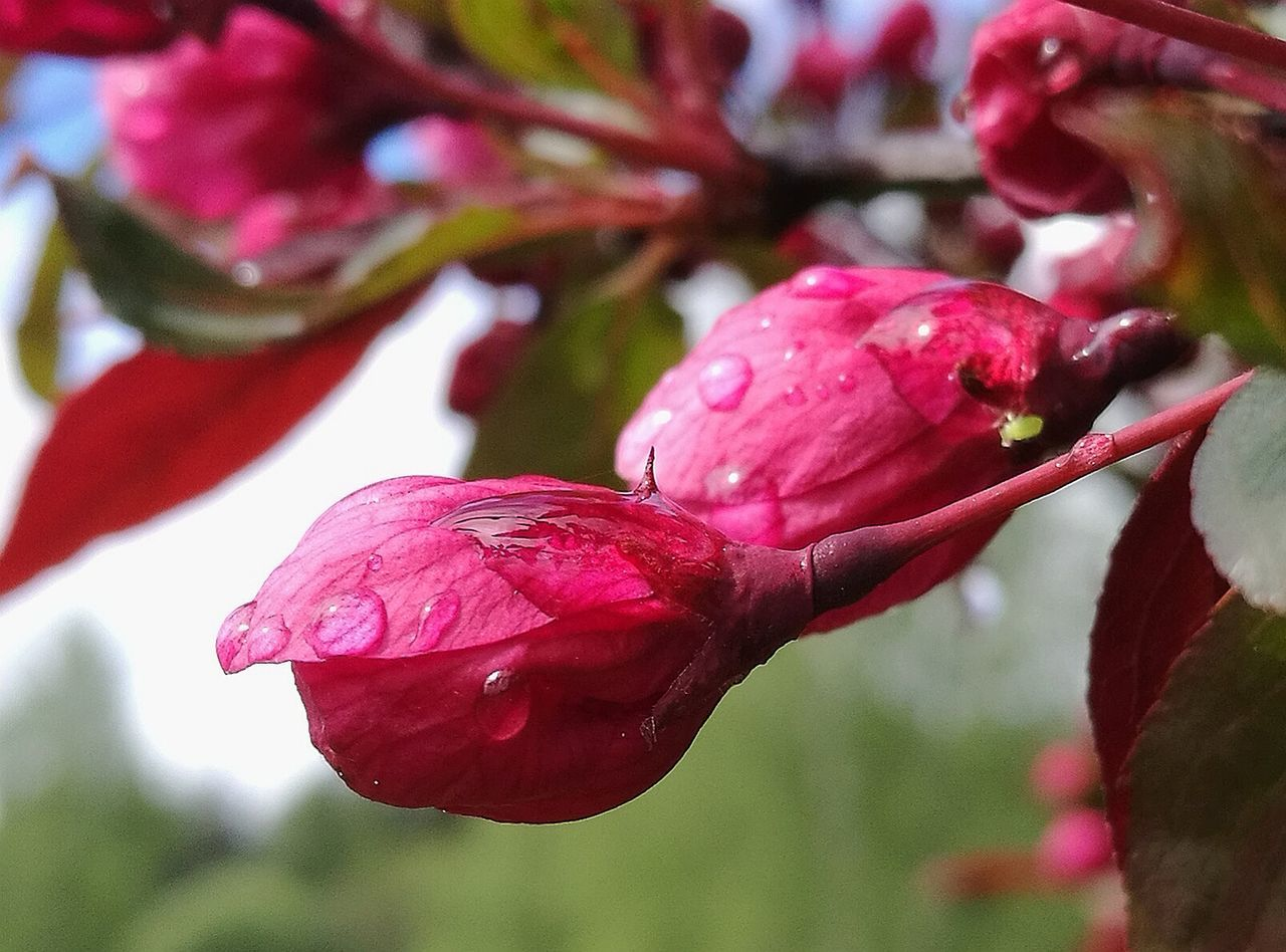 Apple Tree Flower Nature Beauty In Nature Freshness After Rain