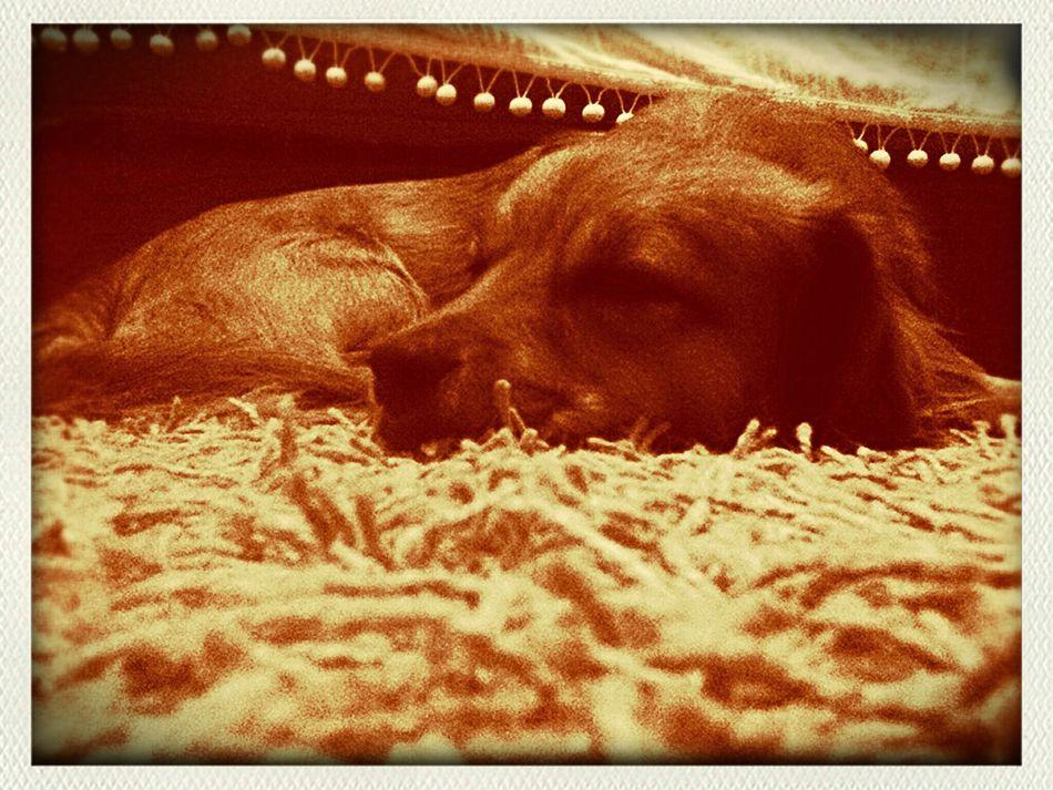 gasa ljubav Gasa Dogs Dog