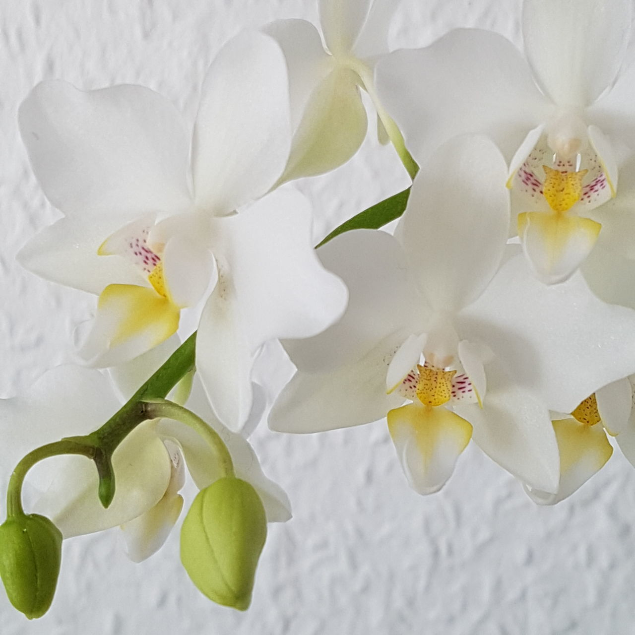 Flower Nature Plant No People Beauty Close-up Zen-like Flower Head Orchid Beauty In Nature Freshness Indoors  Day Eyeemphotography Orchid Focus On Foreground Orchids Orchid Blossoms