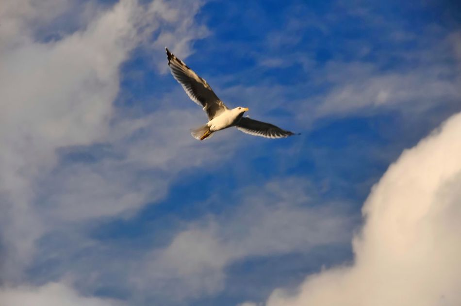 Flying Animal Themes Bird Animals In The Wild Wildlife Spread Wings One Animal Seagull Low Angle View Zoology Blue Full Length Sky Nature Cloud - Sky Mid-air Beauty In Nature Outdoors Tranquility Flight