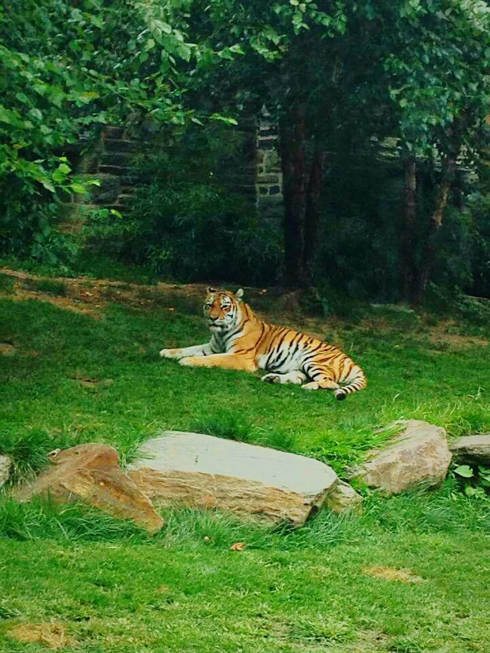 tiger, one animal, animal themes, animals in the wild, tree, green color, mammal, nature, grass, forest, day, white tiger, animal wildlife, outdoors, feline, no people, animal markings