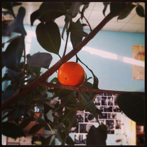 Мандаринка выросла Hanging Tree Fruit No People Leaf Food And Drink Close-up