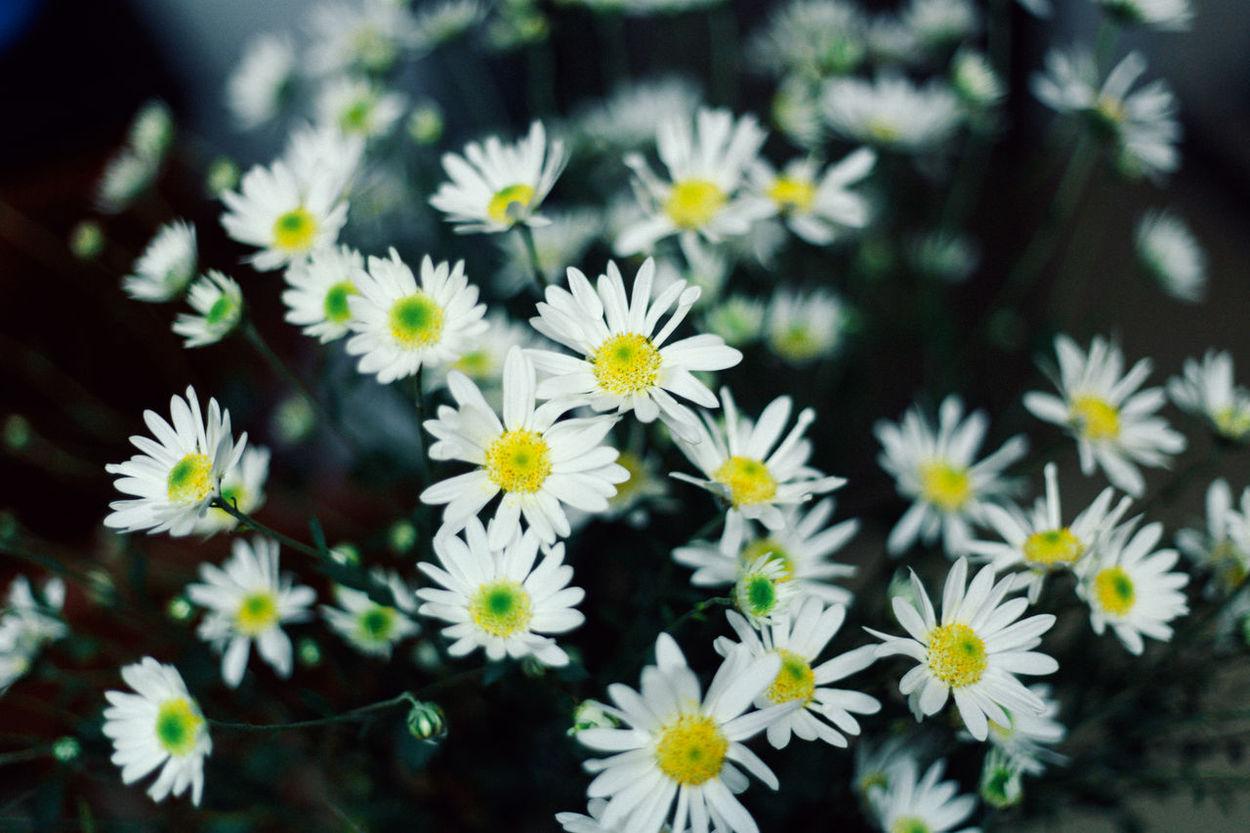 Daisydream Spring Flowers Daisy 🌼 DaisyFlowers Whiteflowers Springtime Daisy Flower Springtime, Beauty In Nature Flower Daisy White Flowers White Flower
