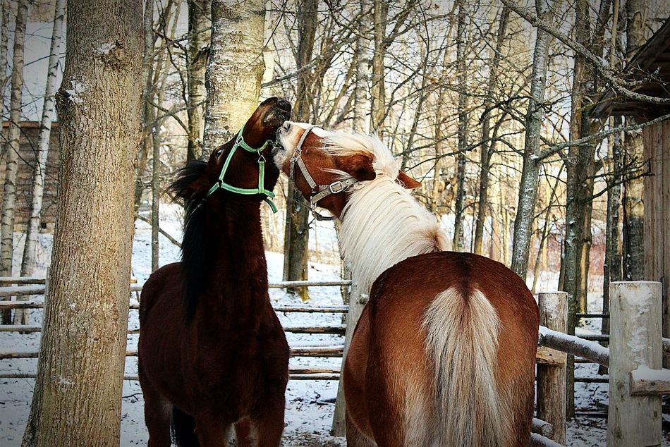 Horse Snow ❄ Snow Витославлицы Velikiy Novgorod Beauty In Nature Nature Snowyday Snowy Days... Snowy Horse Life Horse <3 Horse Photography  Horselove Mammal