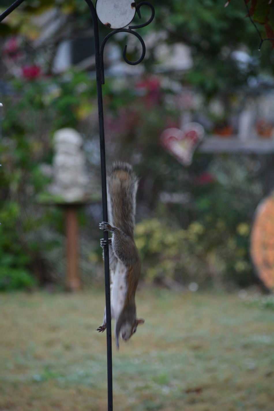 the squirrel was caught in the act of raiding the birdfeeder Squirrel Squirrels Backyard Photography Focus On Foreground Outdoors No People Silly Squirrels Sneeky Bird Feeder Animal Wildlife Animal Themes Motion Capture Motion Caught In Motion Caught In The Act