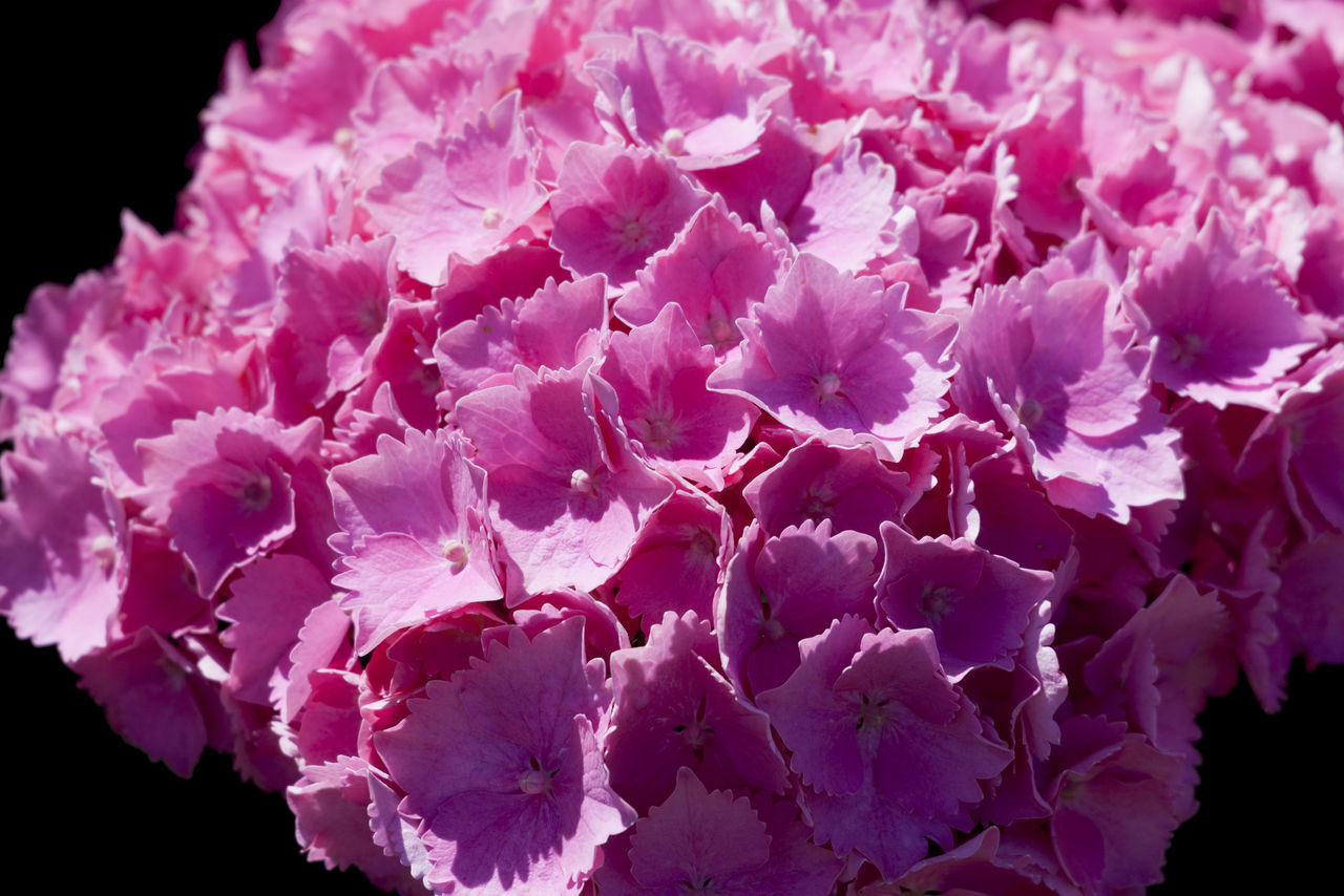 Hydrangea on black background - Hydrangea macrophylla Abundance Beauty In Nature Black Background Blooming Bunch Of Flowers Close-up Flower Flower Head Fragility France Freshness Growth Hydrangea Hydrangea Macrophylla Isolated Nature No People Normandy Outdoors Petal Pink Pink Color Pink Flower Plant Single Flower