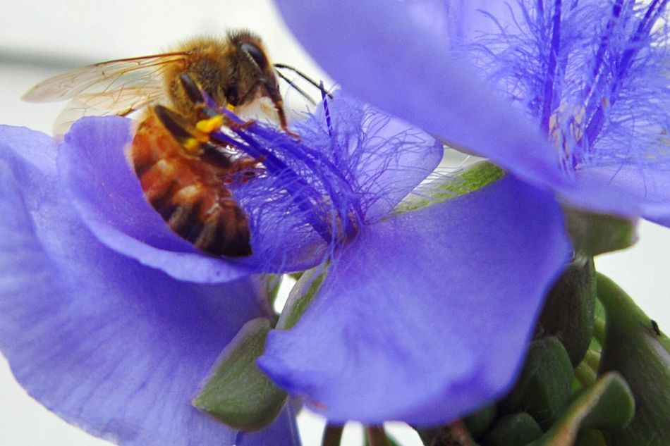 Honey Bee Pollinating Violet Flower Macro Beauty Naturelover❤ Natures Beauty Beauty Everywhere Living Dangerously