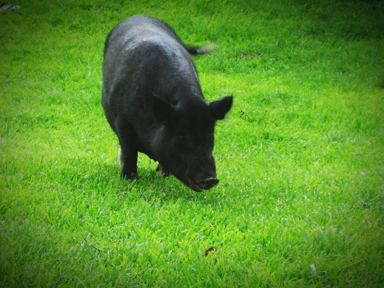 Polynesia Oink Pig Nature On Your Doorstep Colorsplash 808state