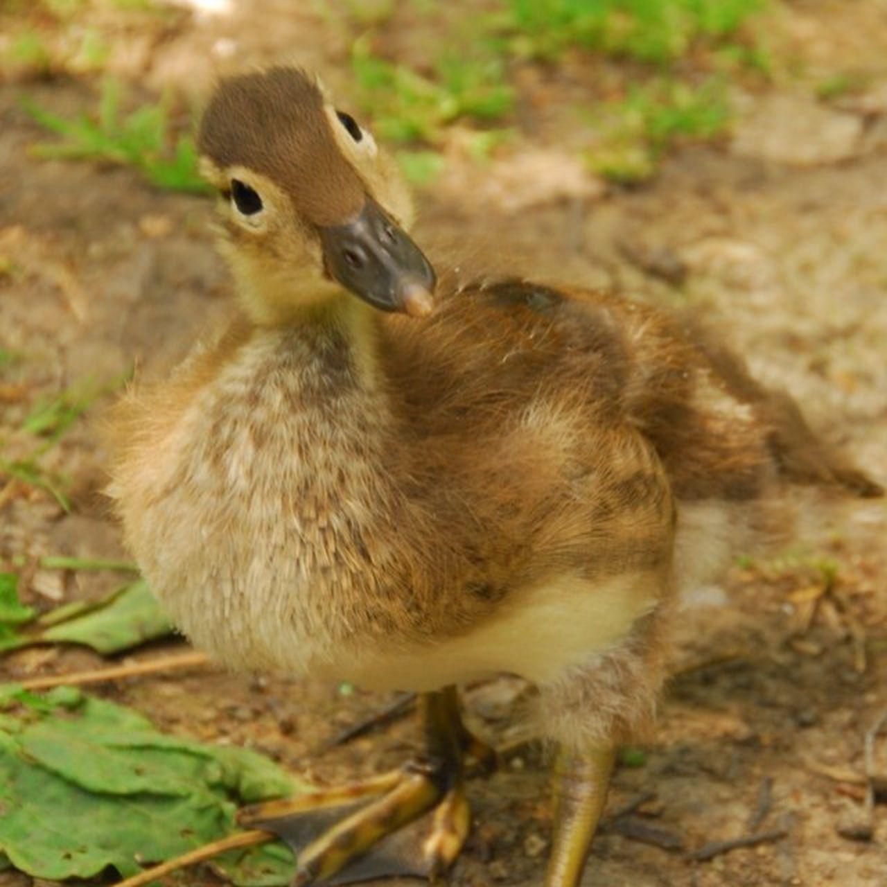 Easter Ready Mandarin Duckling Spring Bird Bird Photography Springtime Spring Has Sprung Spring Duckling Spring Has Arrived Wild Bird Hello World