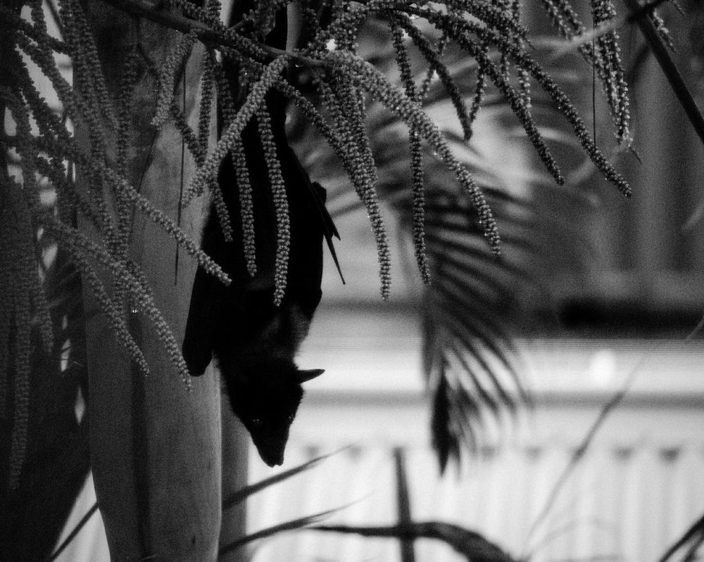 Batman Bat Guest Special Guest Blackandwhite Monochrome Taking Photos Flyingfox Wildlife