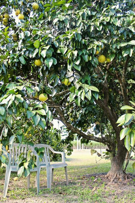 Grapefruit Fruittrees Gardening Relaxing Healthy Food Taking Photos Green Grass Tropics