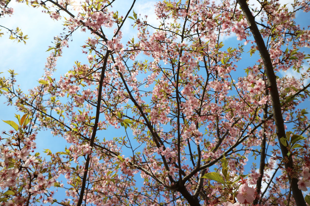 tree, beauty in nature, nature, branch, flower, low angle view, growth, blossom, day, springtime, outdoors, fragility, no people, freshness, tranquility, full frame, backgrounds, scenics, clear sky, sky, close-up