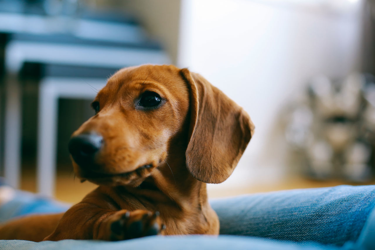 Just Chilling Animal Themes Apartment Close-up Dachshund Dog Domestic Animals Flat Floor Friendship Home Indoors  Laying Love One Animal Owner Pet Puppy Relaxing Shallow Depth Of Field Smooth Trust