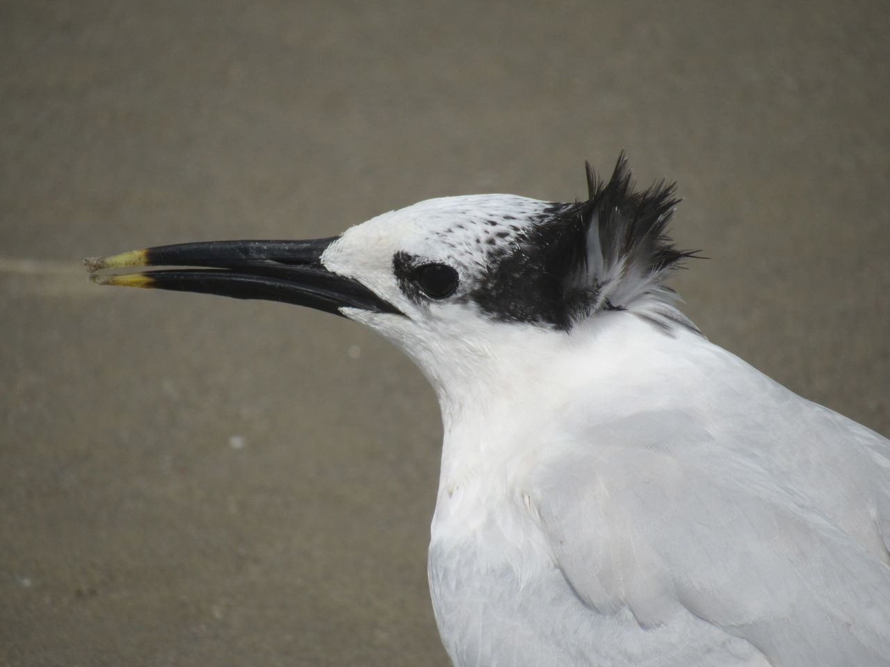 Sandwich Tern Animal Behavior Animal Head  Animals In The Wild Beauty In Nature Black And White Black Eyes Close-up Dots And Spots Feathers Focus On Foreground Gulf Of Mexico Long Beak Sand Small Sea Bird Wildlife Yellow Tip Zoology