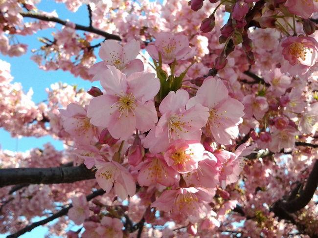 Playground Cherry Blossoms Tokyo 西郷山公園の桜