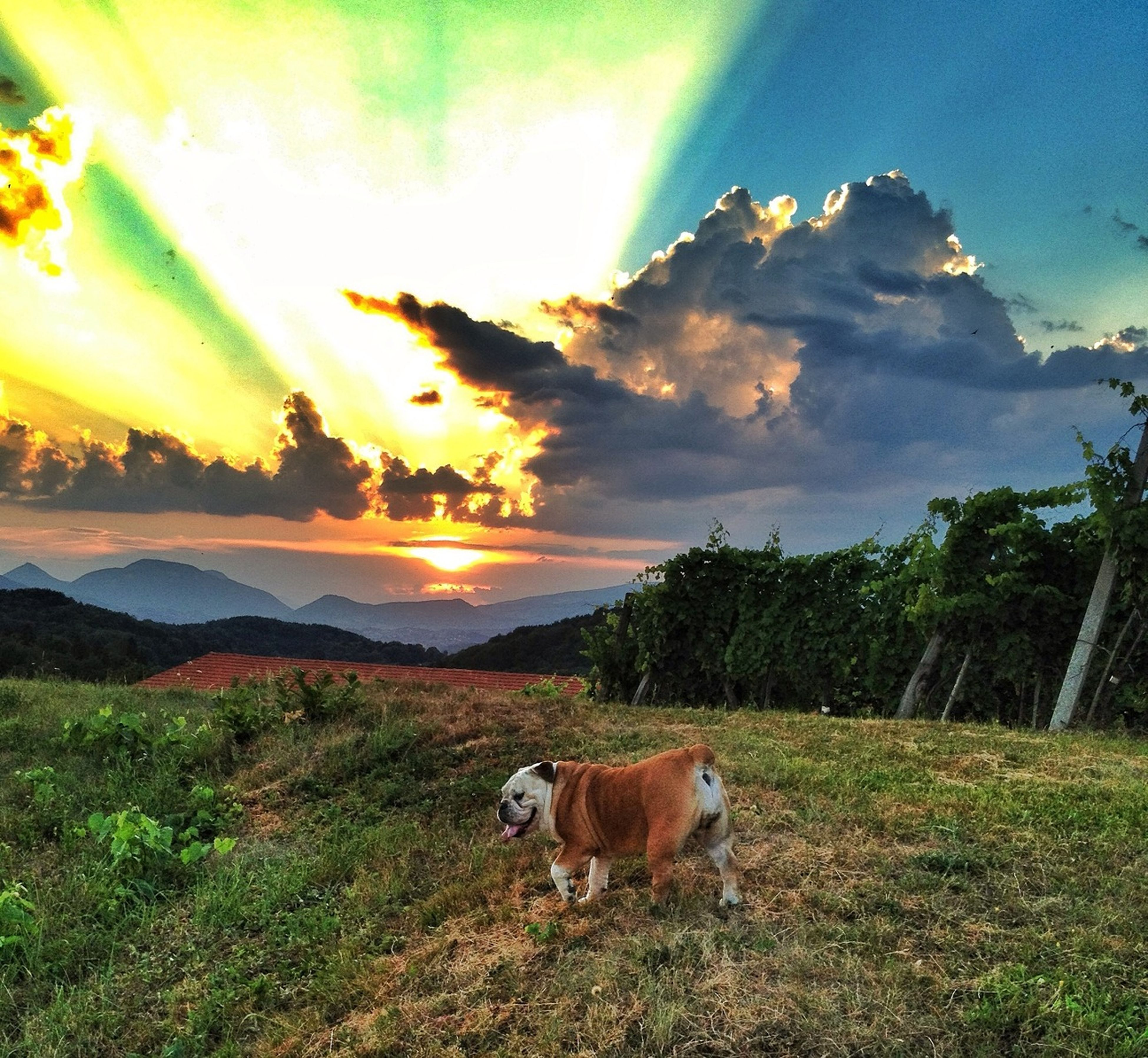 domestic animals, animal themes, mammal, one animal, pets, sky, grass, dog, cloud - sky, sunset, tranquil scene, landscape, field, tranquility, nature, sun, scenics, beauty in nature, sunlight, livestock