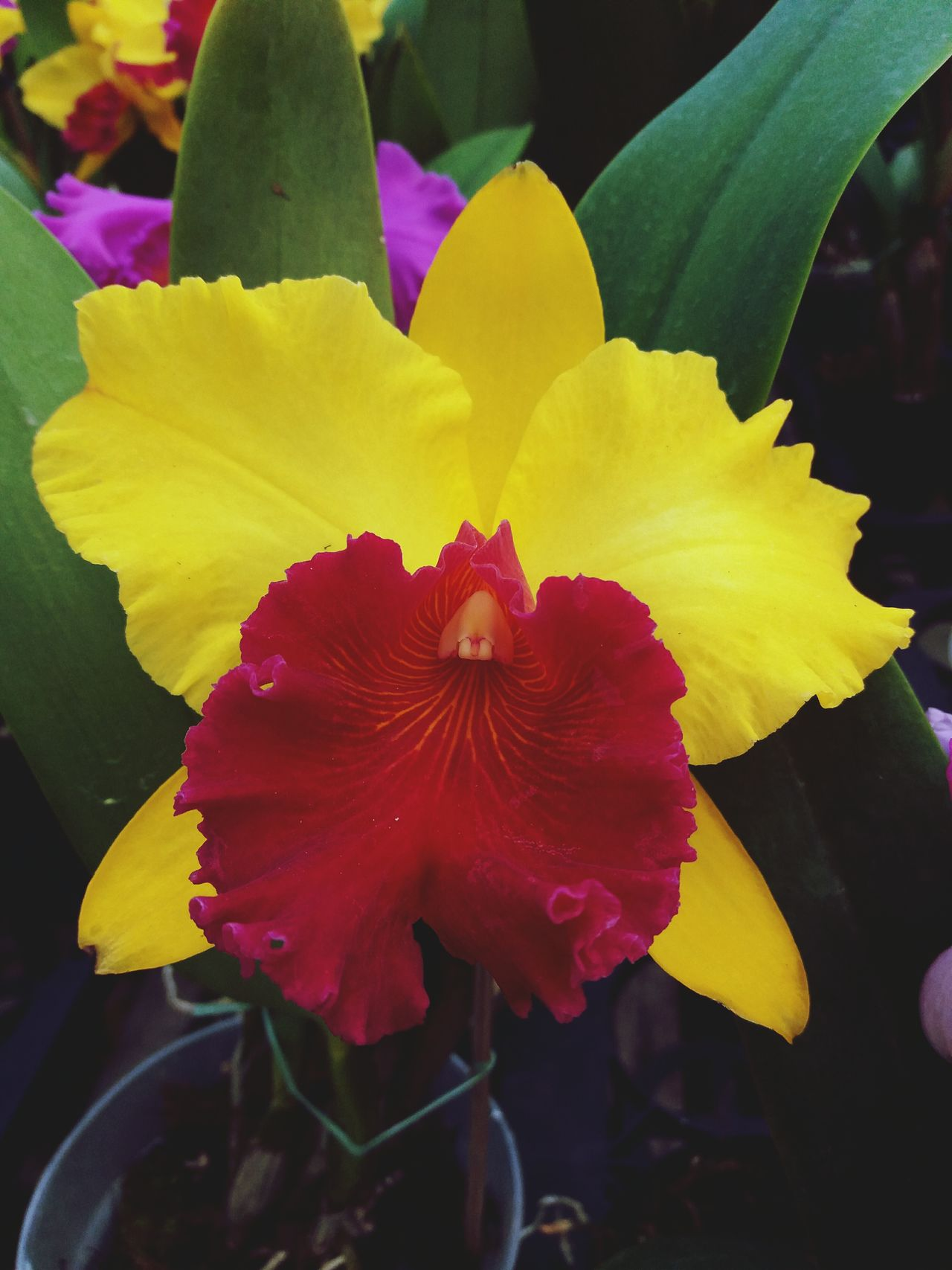 Greenhouse Multi Colored Orchidea Iris - Plant Springtime Flower Flower Head Fragility Vibrant Color Plant Blossom No People Orchids In Bloom Orchid Flower Flowerbed Orchids Orchids Collection Orchidslover Petal Focus On Foreground Yellow