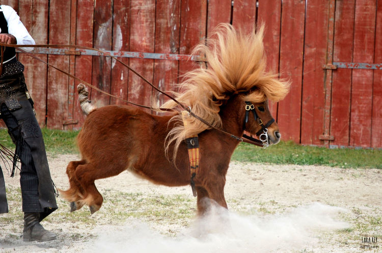 Caba Cabaloria Dressage Haute Couture Ponies Pony Animal Themes Brown Cavallo Chesnut+ Cute Day Domestic Animals Flaxen Hair Flaxenchesnut Haute Ecolé Horse Livestock Mammal One Animal Outdoors Poney First Eyeem Photo