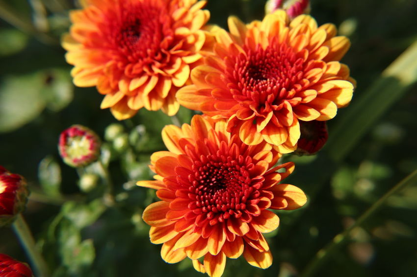 Chrysanthemum Flower Flower Head Fragility Nature Beauty In Nature Petal Freshness Close-up Red Plant No People Outdoors Pollen Growth Agriculture Zinnia  Gerbera Daisy Day Dahlia