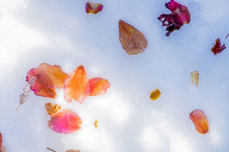 Beauty In Nature Close-up Day Fragility Leaf Nature No People Outdoors Snow White Background