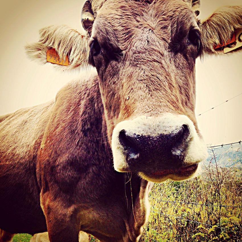 Vaca Cows Cow Sallentdegallego Pirineos Pirineo