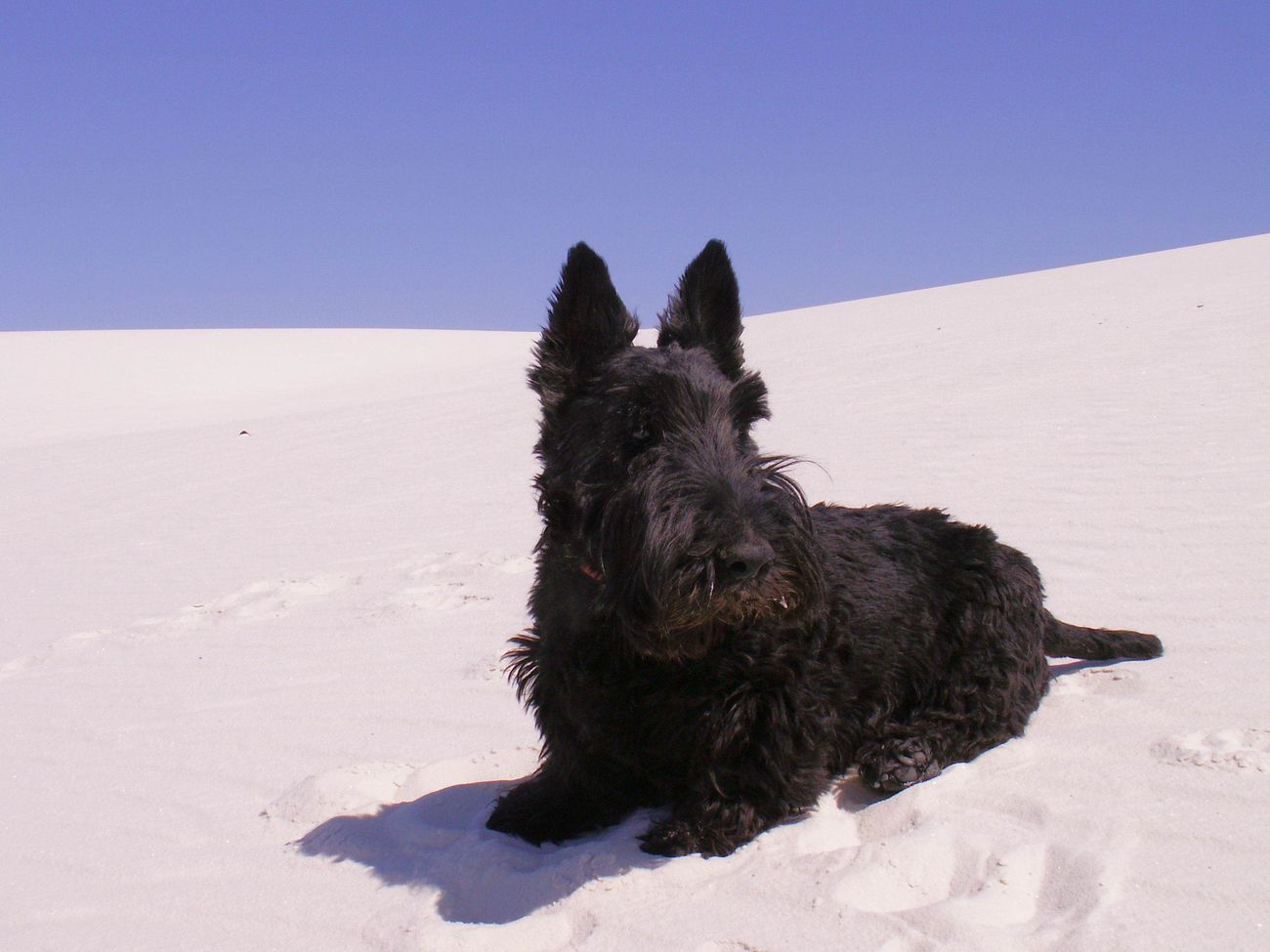 Animal Themes Clear Sky Cold Temperature Day Dog Domestic Animals Field Mammal Nature No People One Animal Outdoors Pets Scottish Terrier Sky Snow Winter