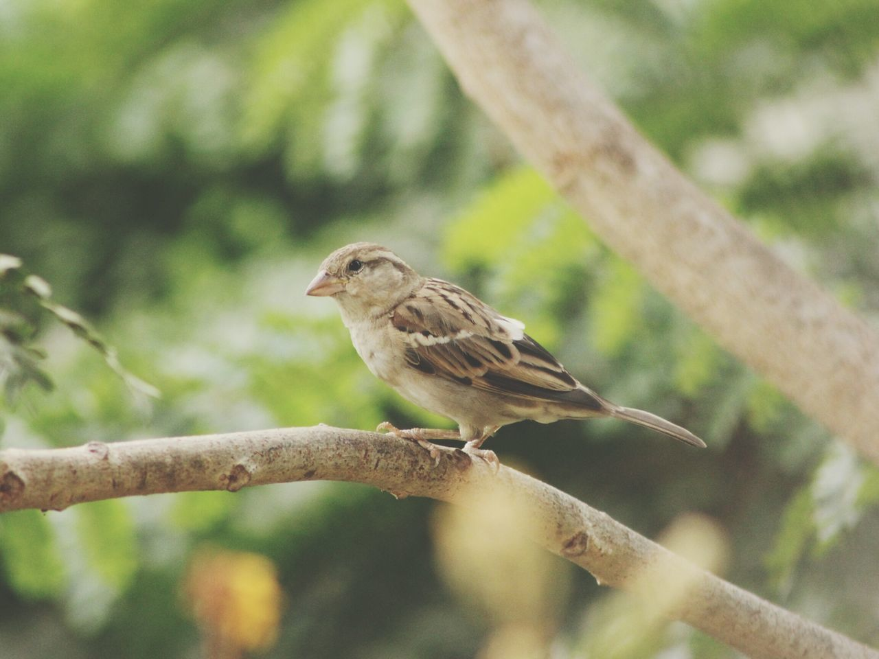 Once found in abundance now listed amongst the endangered species , indian house saprrow , Sparrow On A Branch Sparrows Birdswatch Mumbai_in_clicks MumbaiDiaries Birds Of EyeEm  Birds🐦⛅ Birds Of EyeEm  Birds In A Tree Beauty In Nature