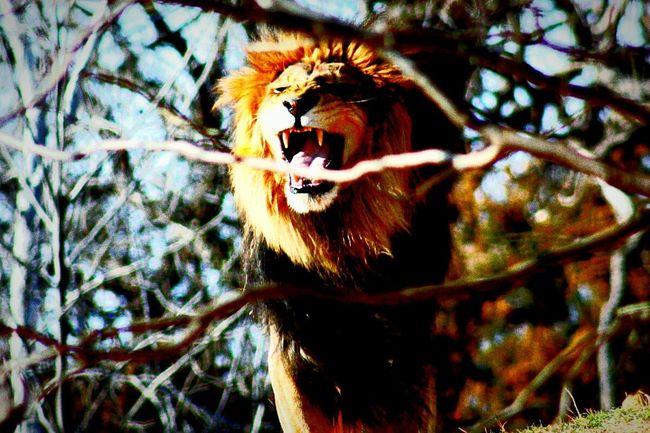 Lion Roar Zoo Animals  Zoo Savethelion