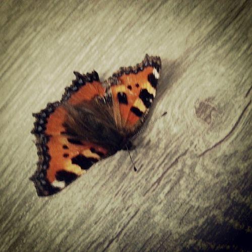 Le Silence des Agneaux Papillon