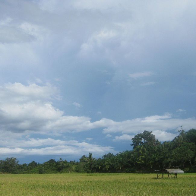 [ Sawah ] Waykanan Lampung INDONESIA ASIA sumatraisland instanusantara nature sawah ricefield bluesky