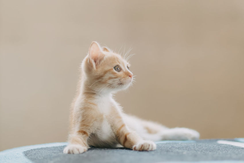 red kitten lying on bed and looking something. Funny Animal Animal Themes Cat Close-up Cute Day Domestic Animals Domestic Cat Feline Indoors  Kitten Mammal No People One Animal Pets Portrait Relax Sitting Whisker