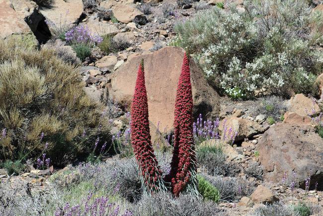 Tajinastes Tenerife. Canary Islands Teide National Park Teide Volcano Nature Outdoors