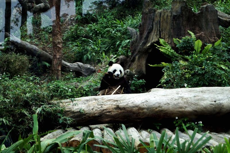 One Animal Panda - Animal Giant Panda Animal Themes Tree Bear Mammal Tree Trunk Growth No People Animal Wildlife Animals In The Wild Outdoors Nature Day