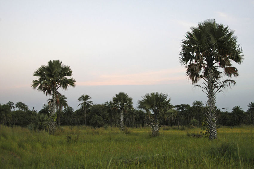 Niafrang Senegal Lala Palm Tree Niafarang Niafourang Niafrang West Africa Beauty In Nature Casamance Clear Sky Day Field Landscape Nature No People Outdoors Palm Tree Rice Field Scenics Senegal Sky Tranquil Scene Tranquility Tree