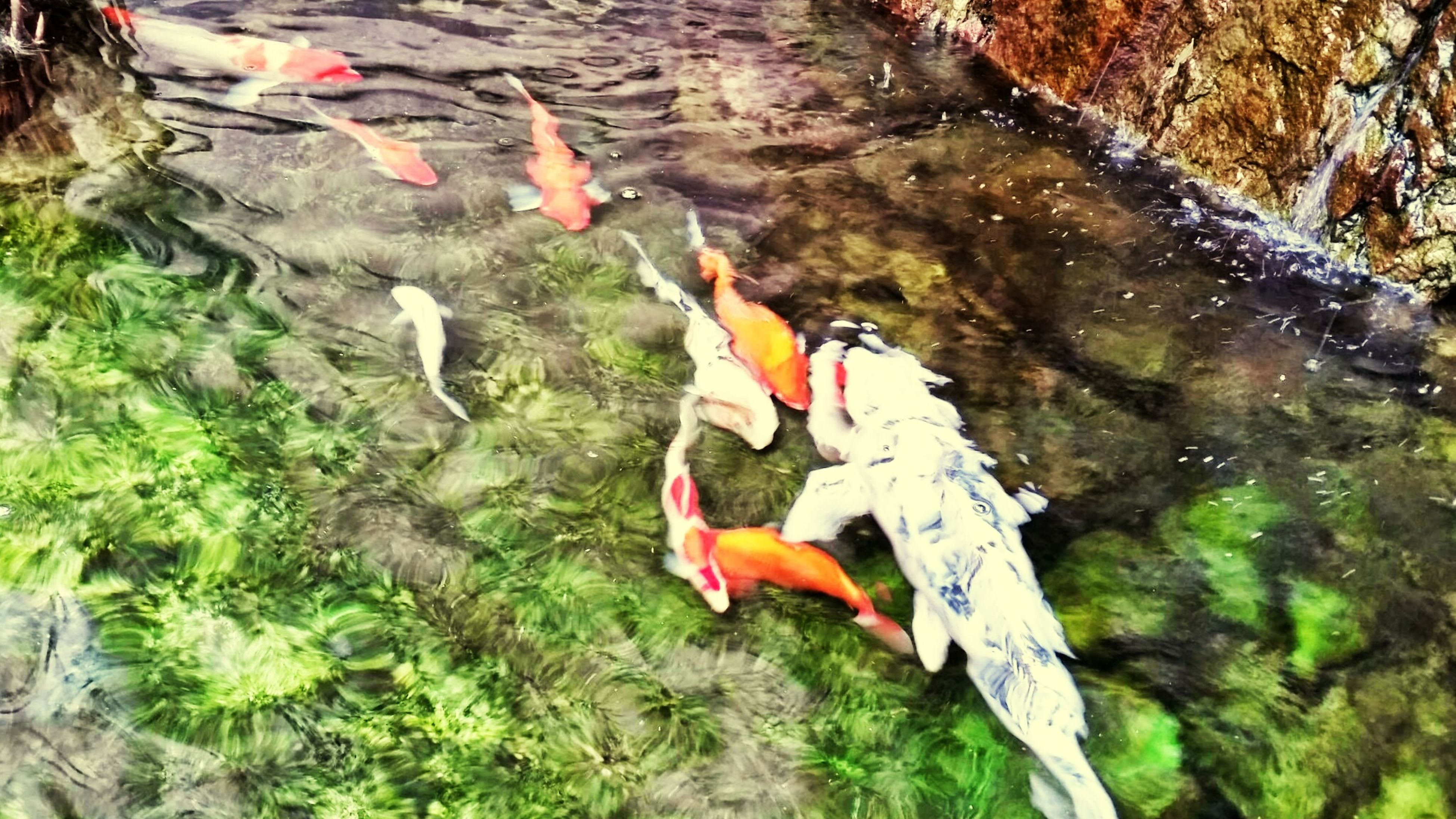 animal themes, water, bird, animals in the wild, wildlife, pond, swimming, lake, koi carp, fish, nature, high angle view, reflection, medium group of animals, outdoors, orange color, floating on water, day, waterfront