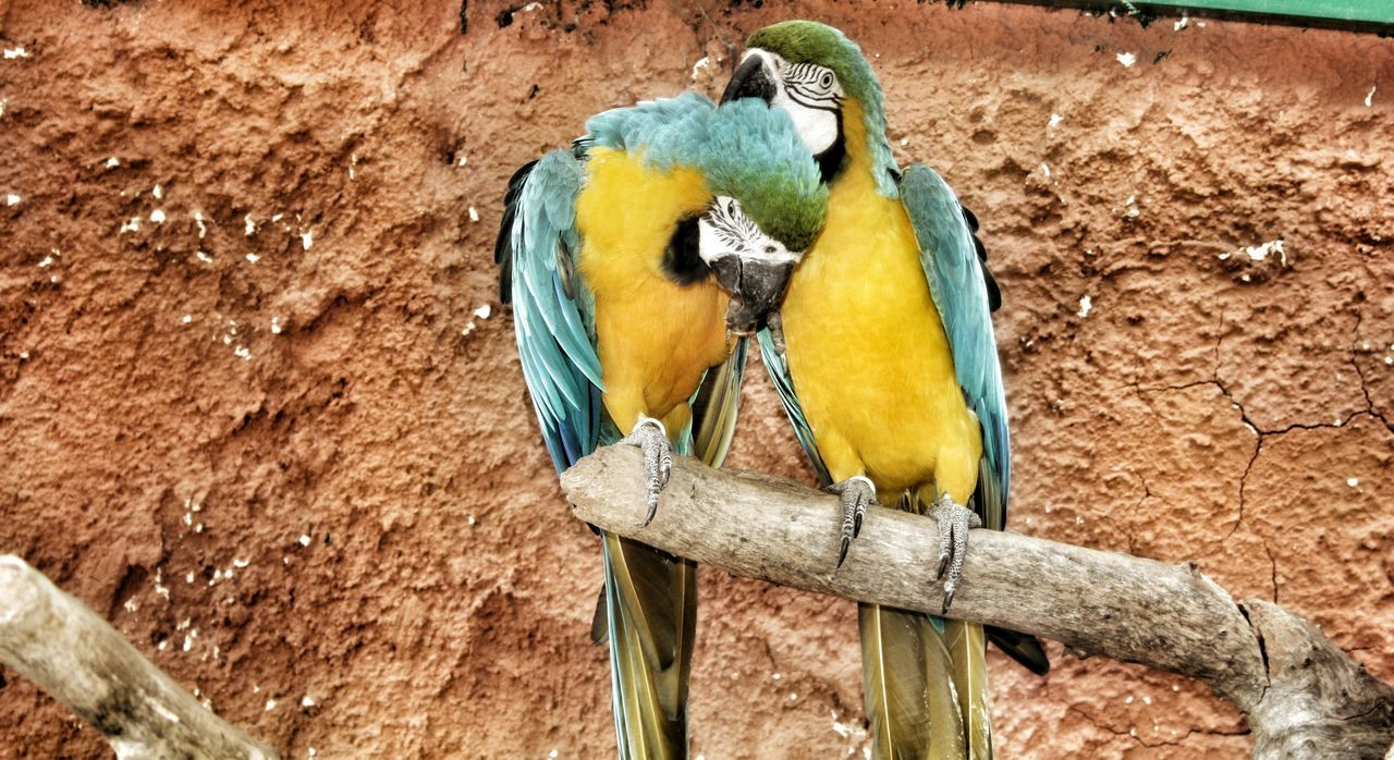 animal themes, animals in the wild, perching, gold and blue macaw, bird, animal wildlife, one animal, macaw, parrot, no people, blue, outdoors, bluetit, beauty in nature, day, yellow, nature, full length, close-up