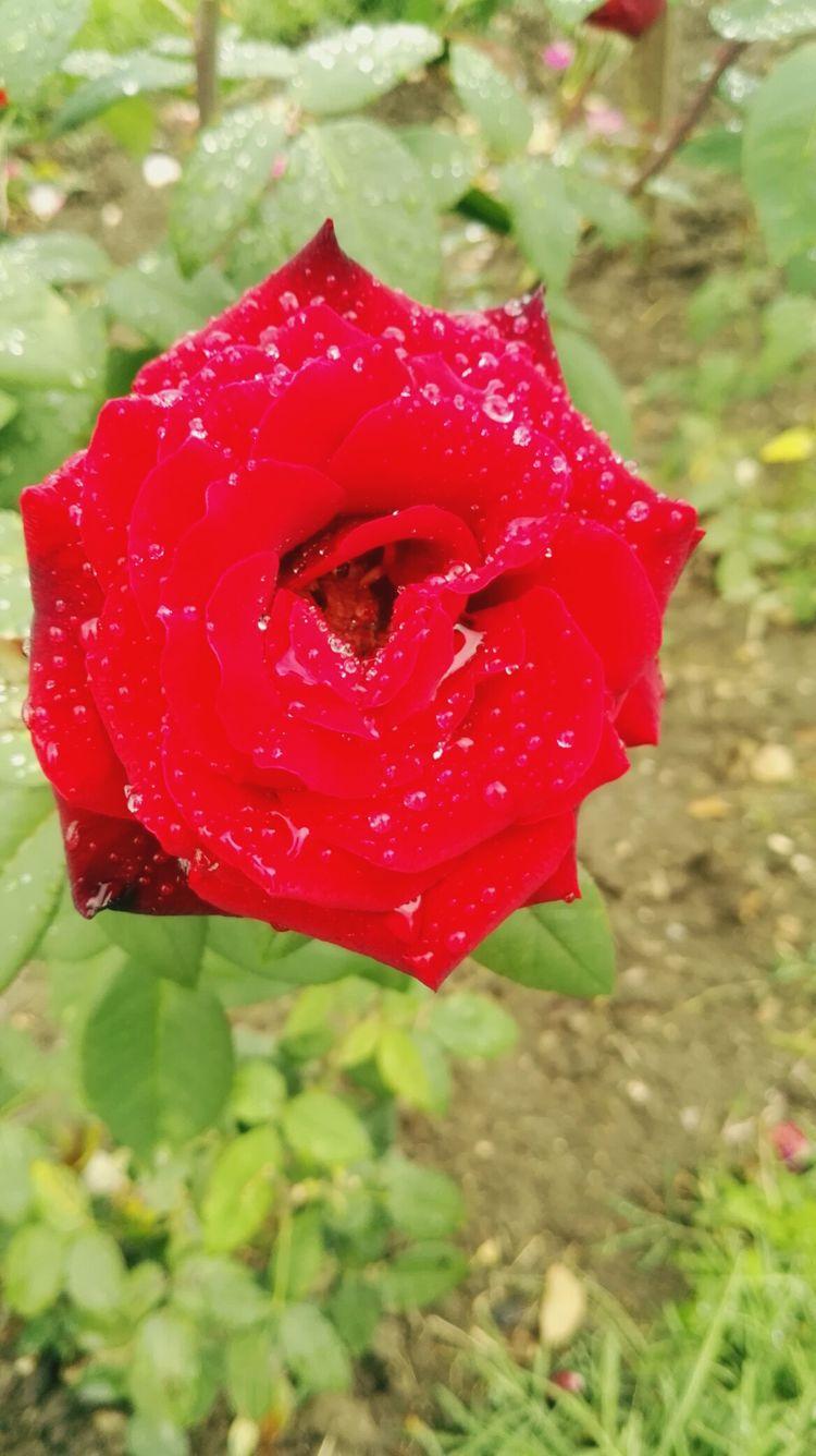 Rose🌹 Red Rose Flower Raining