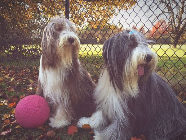 December Beardies Beardedcollie Dogs Dogs Of EyeEm First Eyeem Photo Pets Mammal No People Autumn Fall Day Sunshine Domestic Animals Animal Themes Outdoors Two Fall Colors Nature Close-up Fall Beauty Wind Dogslife Ball Pink