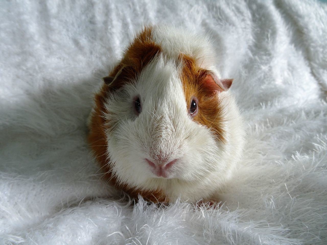Beautiful stock photos of guinea-pigs, Rodent, animal Head, animal Nose, animal Themes