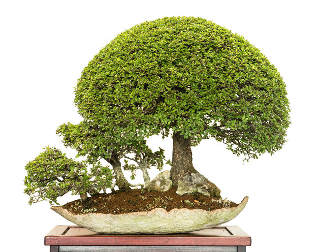 Elm Tree Foliage Plant Bonsai Tree Branch Close-up Day Green Color Growth Nature No People Outdoors Plant Tree Ulmus Parvifolia White Background White Isolated