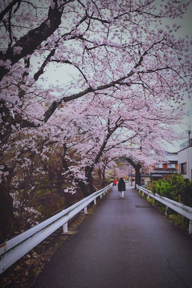 Kyoto,japan Sakura2016 Sakura Tunnel
