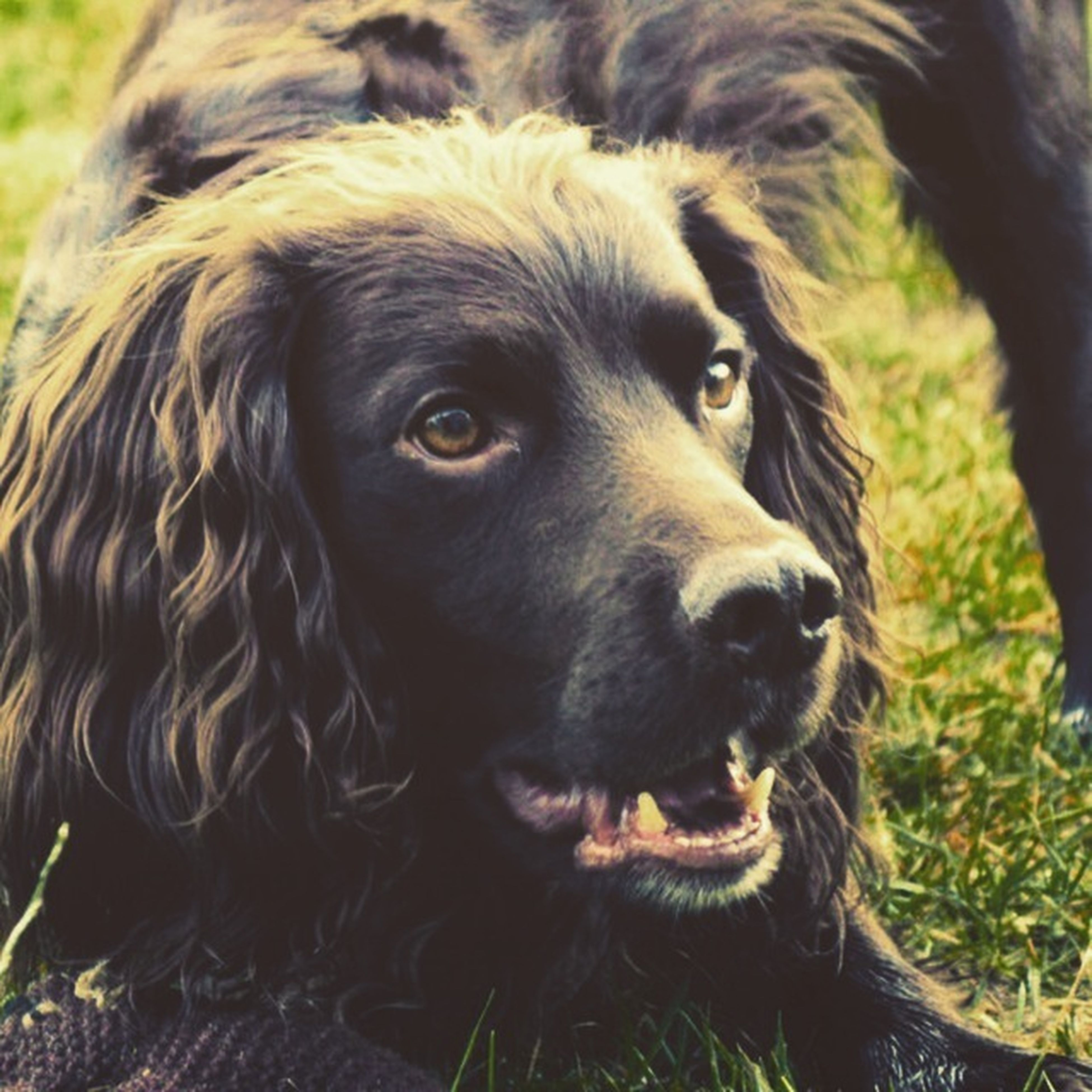 animal themes, one animal, mammal, animal head, domestic animals, close-up, animal body part, portrait, focus on foreground, dog, looking at camera, animal hair, field, no people, day, outdoors, zoology, nature, animals in the wild