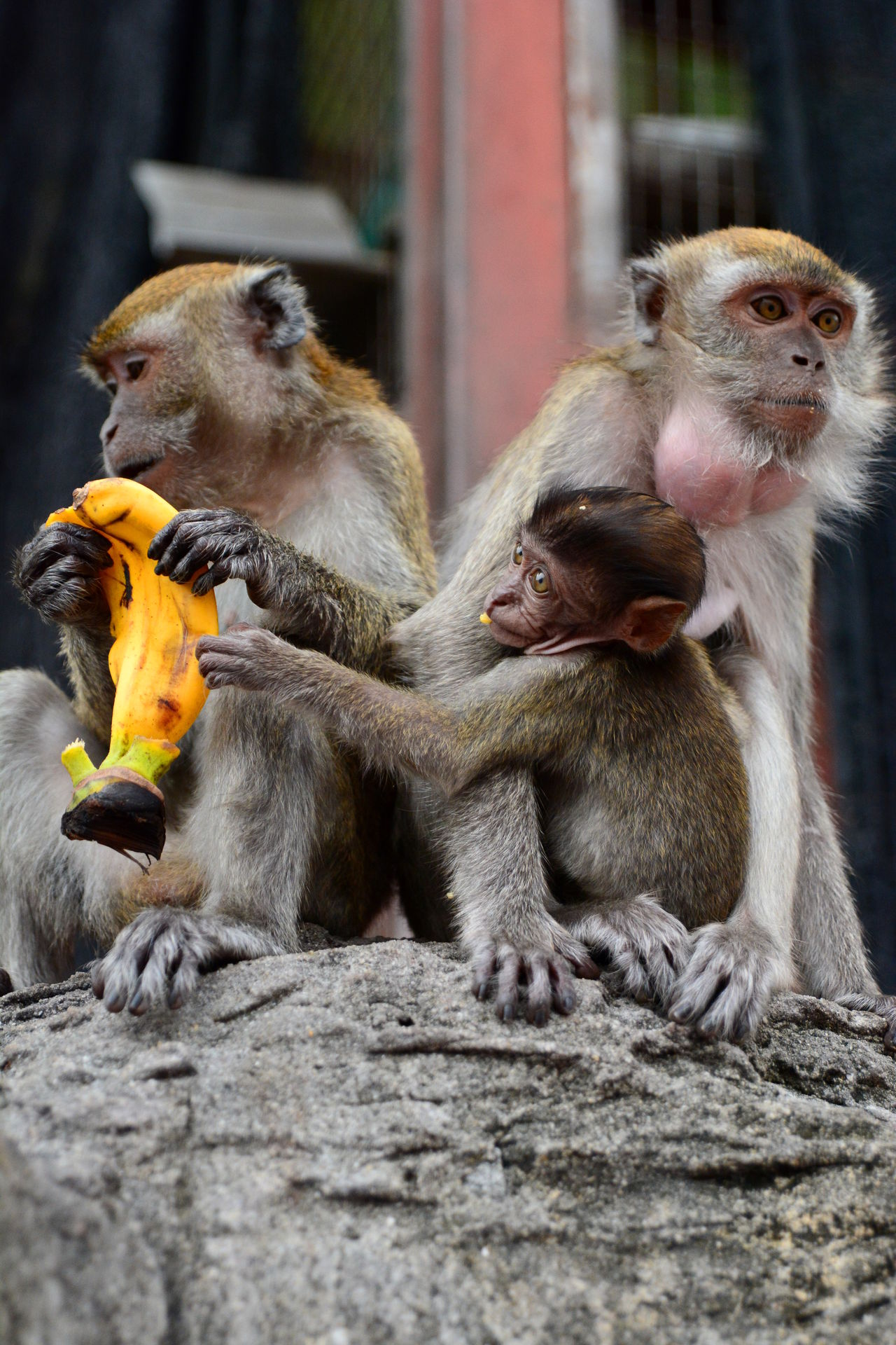 Monkeys family at Batu Caves Animal Animal Family Animal Themes ASIA Batu Caves Batu Caves -Malaysia EyeEmMalaysia Focus On Foreground Macaque Malaysia Malaysian Mammal Monkey Monkey Family Monkeys Nature No People Outdoors Three Animals Travel Travel Photography Young Animal