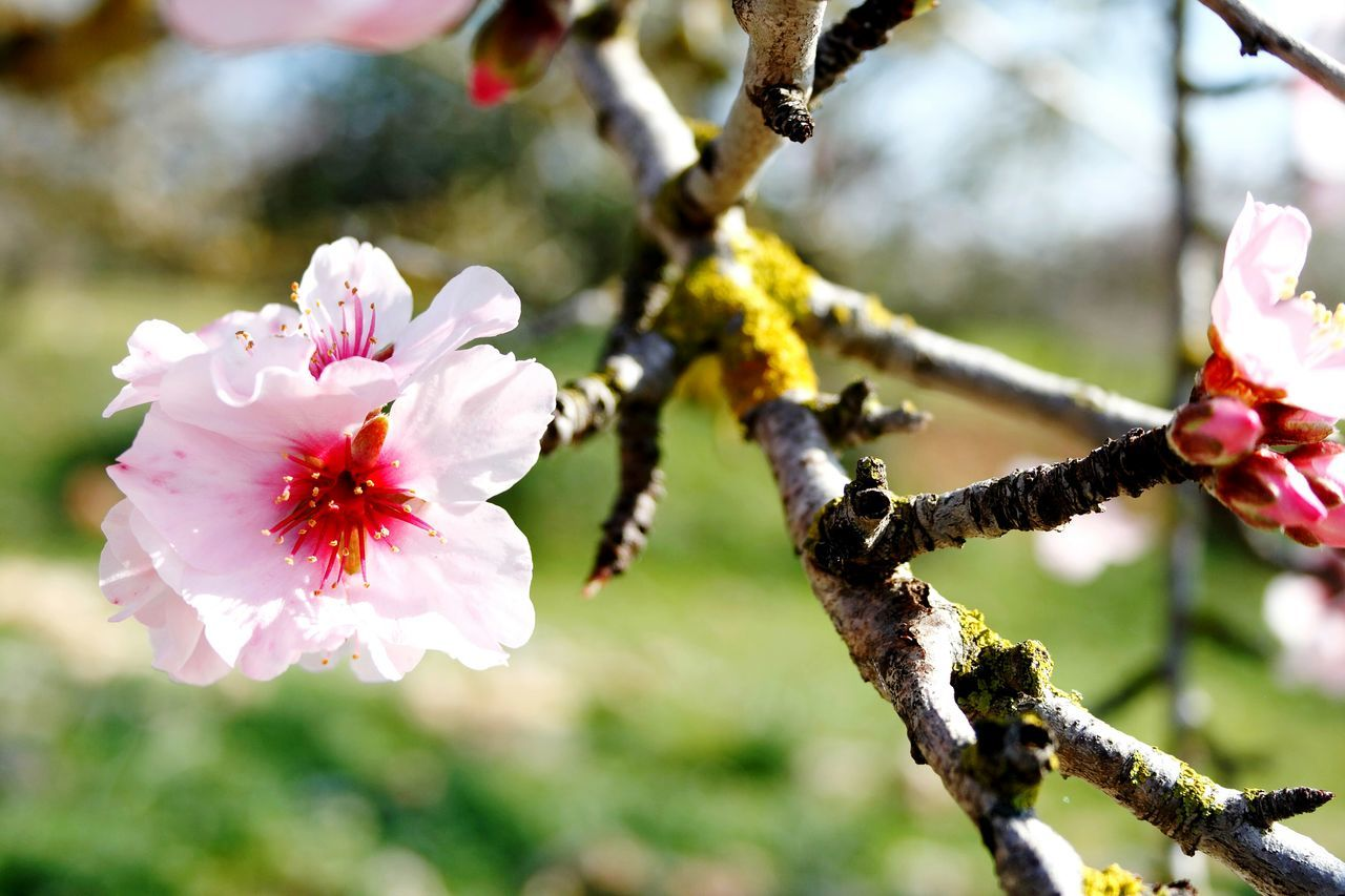 Once again Almond Blossom Beauty In Nature Nature Growth Freshness Outdoors Plant No People Canonphotography Check This Out EyeEm Nature Lover Walking Around Taking Pictures Beliebte Fotos Springtime Blossoms  Spring Has Arrived Spring Blossoms