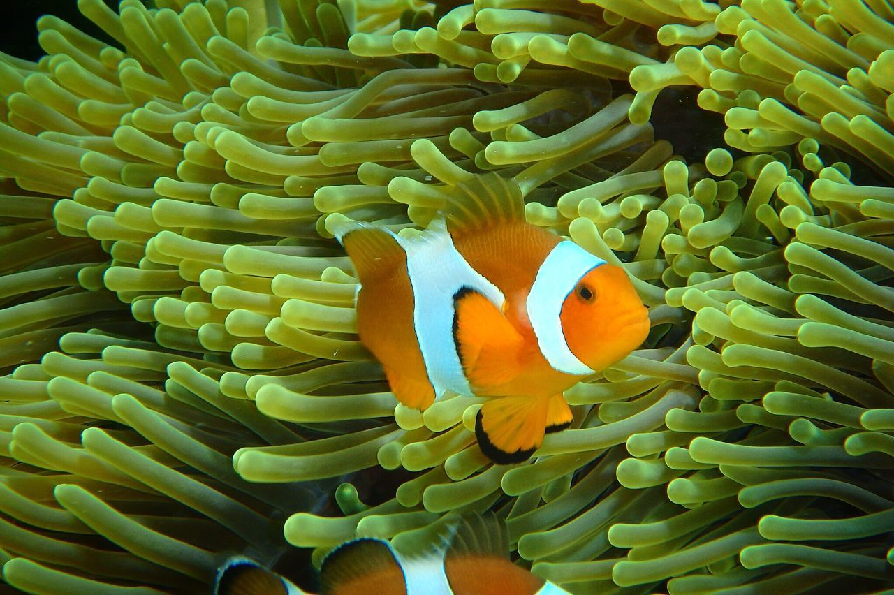 Nemo Fish Nemo Crownfish Sea Ocean Underthesea Thailand Olympus